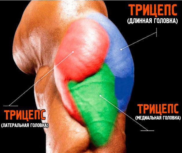 М`язи рук: трицепс