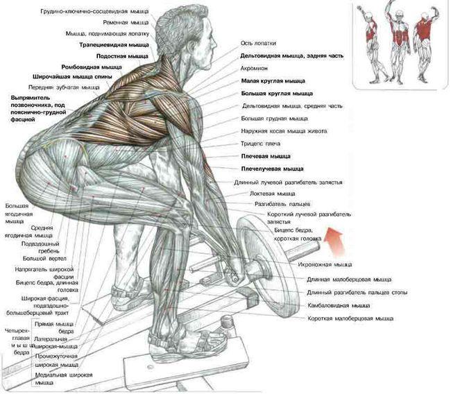Анатомія силових вправ