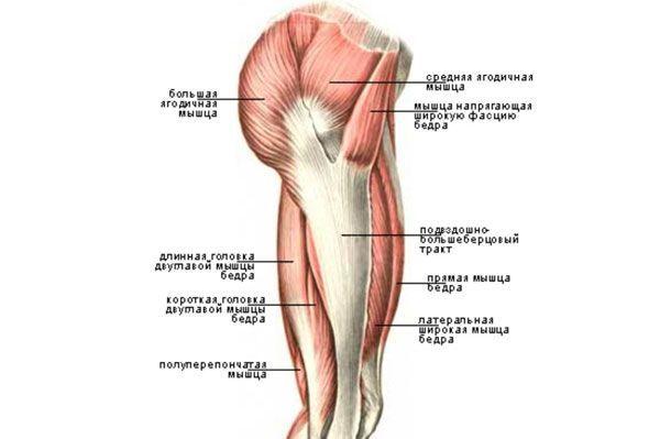 Будова м`язів стегна