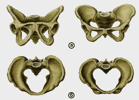 Тазові кістки чоловіків і жінок