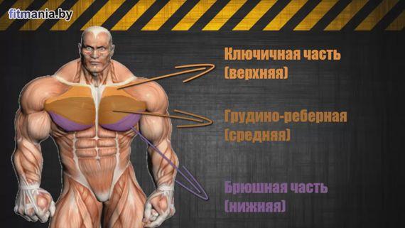 Будова і функції грудних м`язів