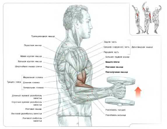 Молоткові згинання на плечелучевой м`яз