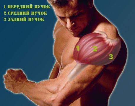 Коротка-анатомія-плеча