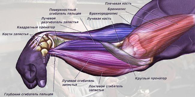 М`язи передпліччя (анатомія)