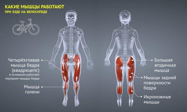 які м`язи працюють при катанні на велосипеді