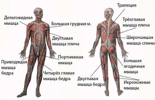 м`язи плавця