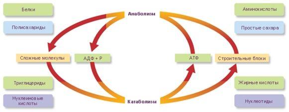 katabolizm-teorij