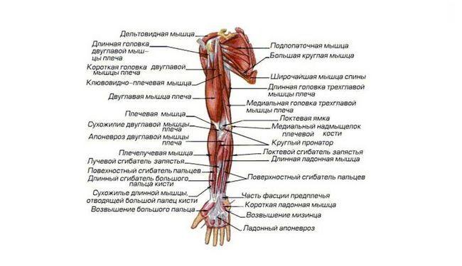 Назви м`язів тіла