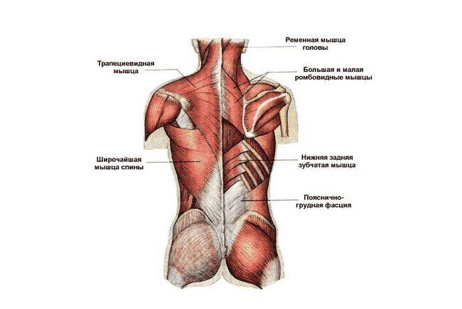 Як називаються м`язи спини людини
