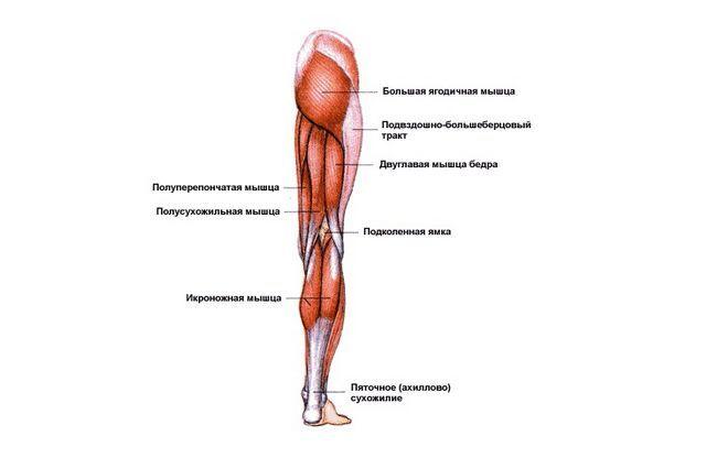 Назви м`язів людини в картинках