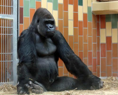 дзен мавпа