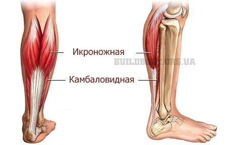 Литкові м`язи ніг