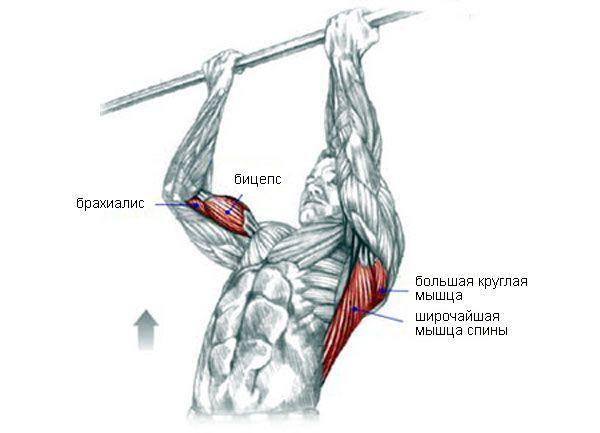 Робота м`язів при підтягуванні