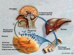 Вплив факторів на гормон росту