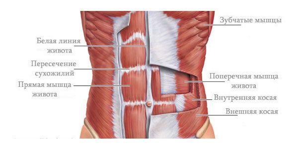 Будова абдомінальних м`язів