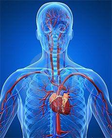Сердечно судинна система _ cardio vascular system