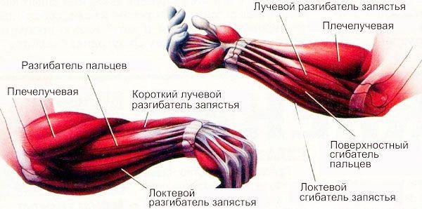 Анатомія м`язів руки