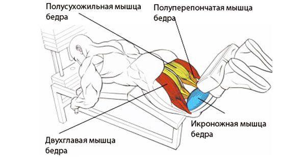 М`язи при згинанні гомілки