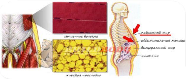 Підшкірний жир і м`язи