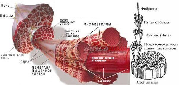 Скорочення м`язової тканини