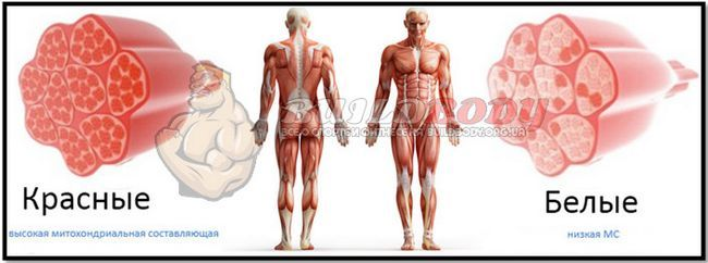 Червоні і повільні м`язові волокна