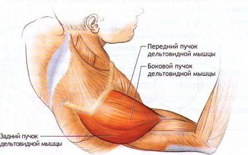 delti-anatomij