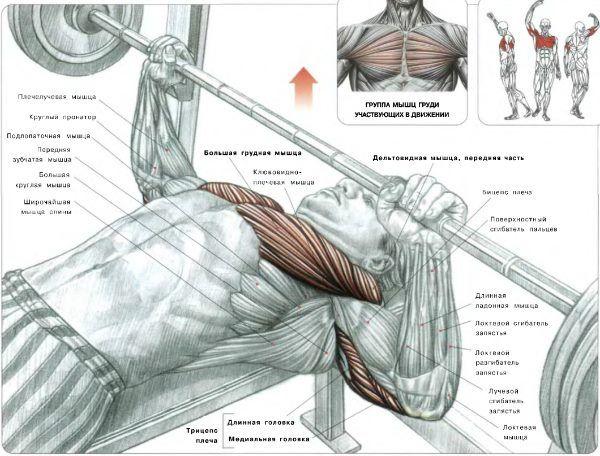м`язи при жимі лежачи