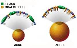 Ліпопротеїди високої і низької щільності
