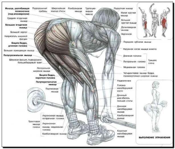 м`язи задньої поверхні стегна і сідниці